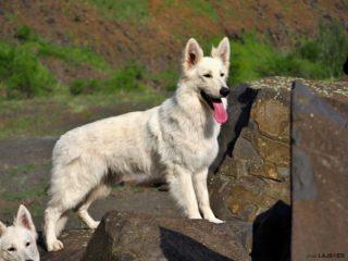 DIAMOND White Alaska