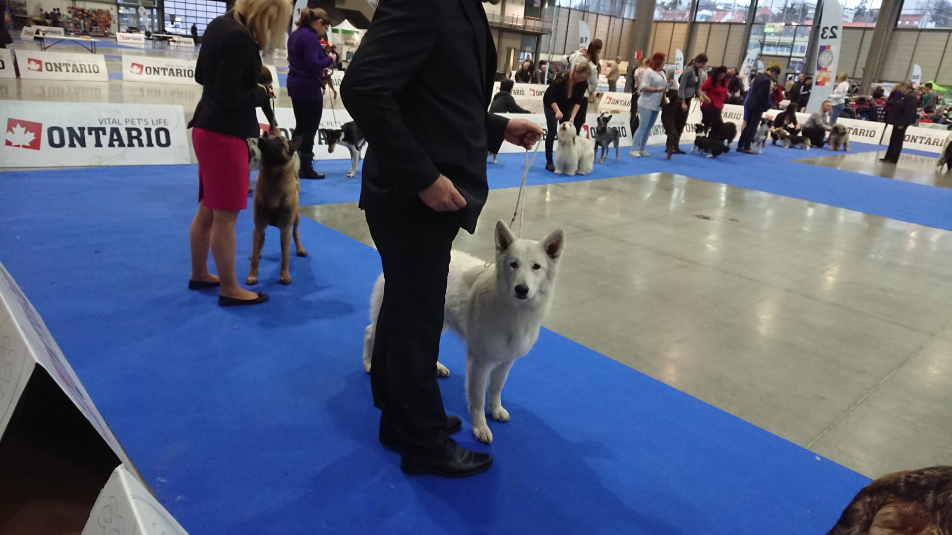 Hanácká national dog show | White Swiss Shepherd